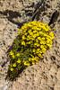 Dionysia sarvestanica ssp spathulata M1