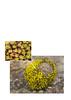 Dionysia sarvestanica ssp. sarvestanica M2