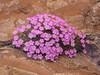 Dionysia curviflora  M5