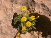 Dionysia sarvestanica ssp spathulata Ir 0210K