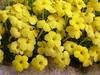 Dionysia diapensiifolia Ir 1021K