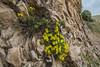 Dionysia revoluta ssp canescens M1