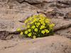 Dionysia diapensiifolia Ir 1239K
