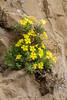 Dionysia revoluta ssp canescens M2