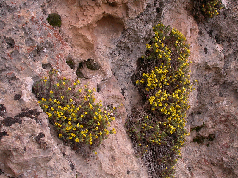 Dionysia revoluta ssp canescens Ir 3080K