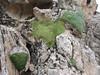 Dionysia tapetodes & Gypsophila aretioides M4
