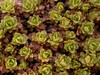 Dionysia sarvestanica ssp sarvestanica Ir 0930K