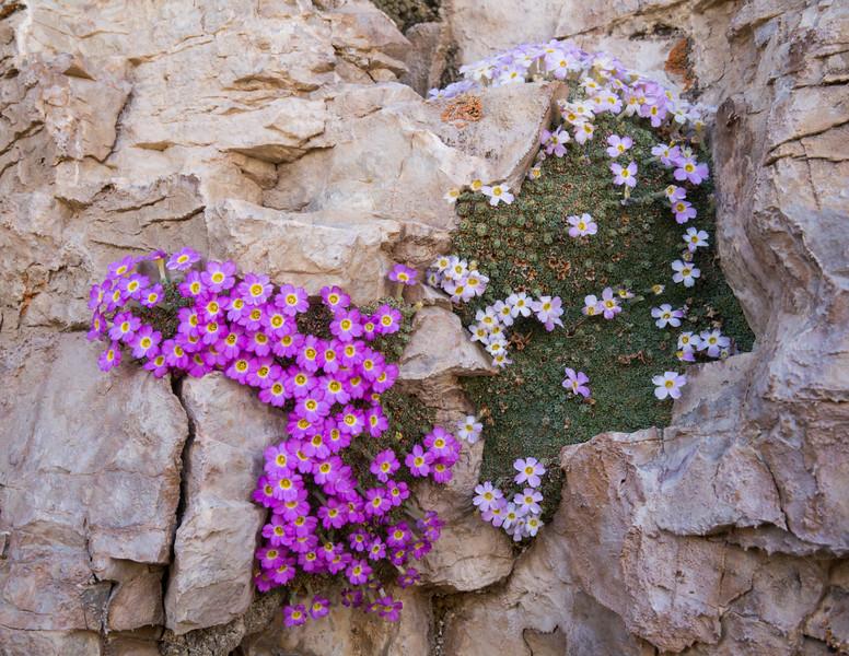Dionysia curviflora M1