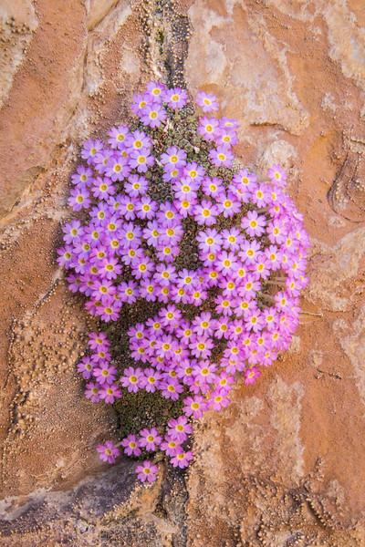 Dionysia curviflora M2