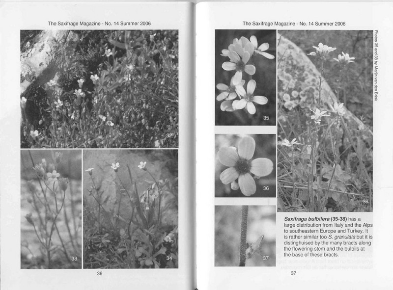 Saxifrages of South Italy (Sax. Society Magazine, No. 14, Summer 2006, p. 36–37)