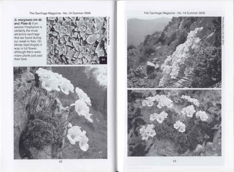Saxifrages of South Italy (Sax. Society Magazine, No. 14, Summer 2006, p. 42–43)