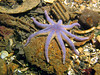 A stimson (Striped) sunstar on rubble in the shallows.