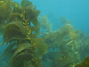 Giant Kelp - Macrocystis spp.