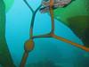 Elk Kelp - Pelagophycus porra