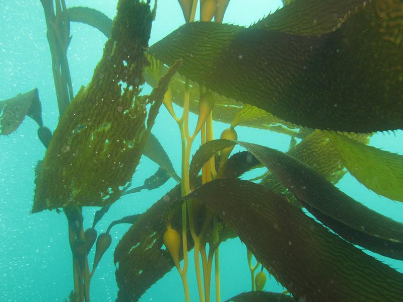 Giant Kelp - Macrocystis spp.