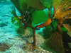 Southern Sea Palm - Eisenea aborea