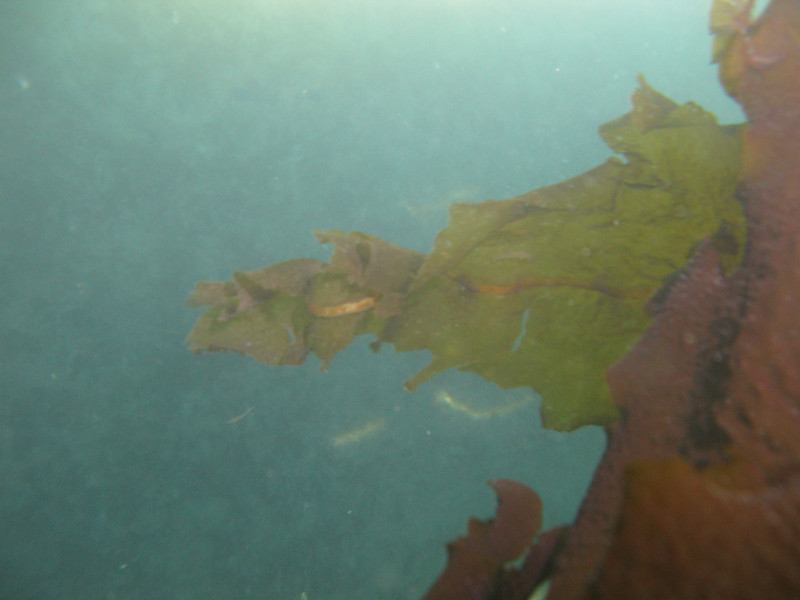Asian Kelp Wakame (invasive species)<br /> Undaria pinnatifida