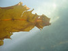 Asian Kelp Wakame (invasive species) - Undaria pinnatifida