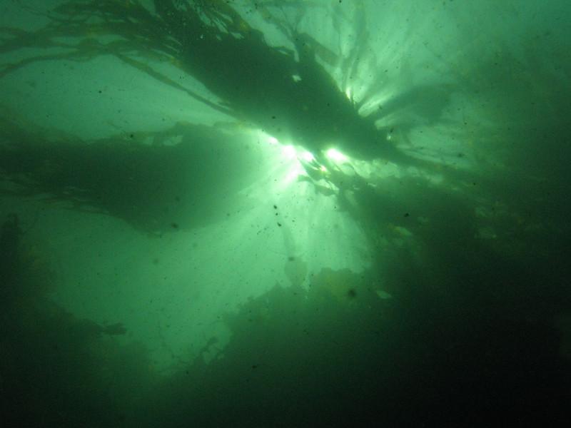 Bull Kelp - Nereocystis luetkeana