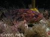 Brown or Grass Rockfish?