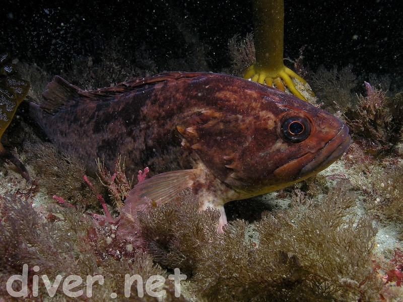 Brown or Grass Rockfish?