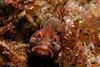 Yellowfin or Sarcastic Fringehead?