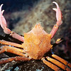 northernkelpcrab_jnichols