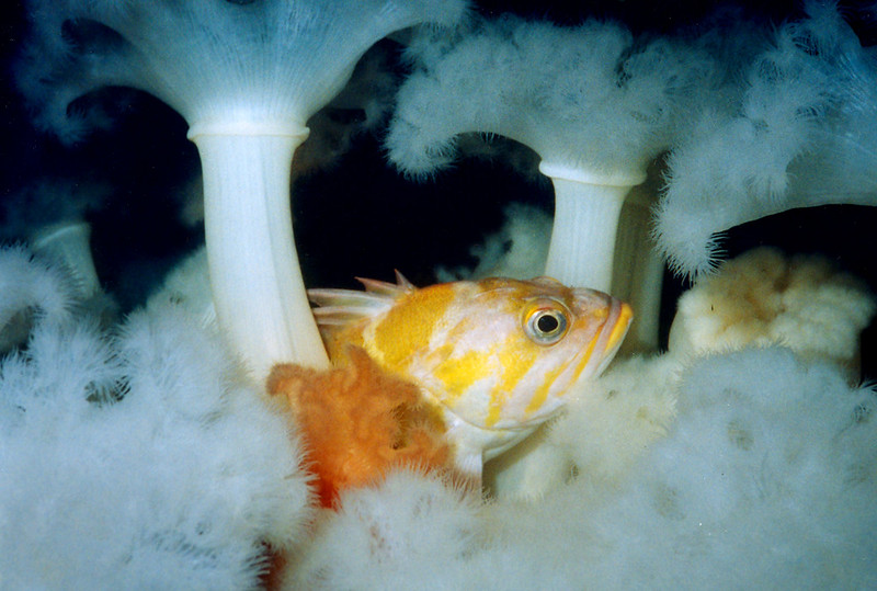copperrockfish_jnichols