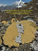 Hippolytia gossypina, syn. Tanacatum gossypinum growing in cushion of Arenaria polytrichoides. Chhukung 4780m-Island Peak base camp 5000m