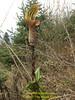 Arisaema nepenthoides, Puyan 2725m-Pangkongma 2850m