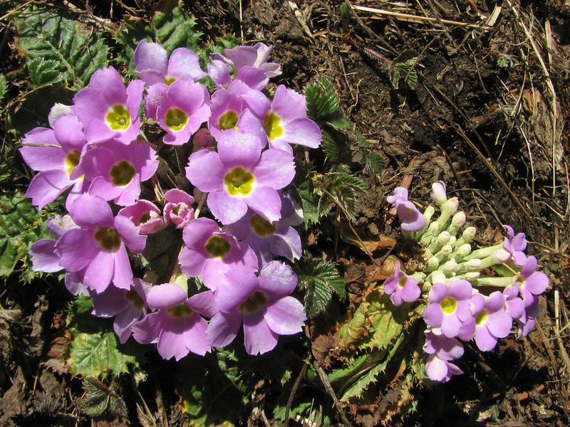 Primula  gracilipes, Kothe 3700m  [identification by Pam Eveleigh, Primula World Canada]
