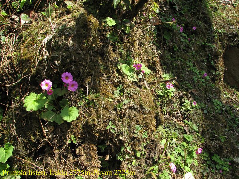Primula listeri, Lukla 2775m-Puyan 2725m  [identification by Pam Eveleigh, Primula World Canada]