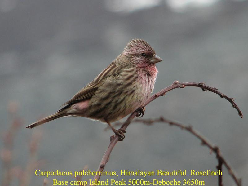 Carpodacus pulcherrimus, Himalayan Beautiful  Rosefinch, Base camp Island Peak 5000m-Deboche 3650m
