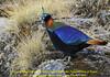 Lophophorus impejanus, Impeyan pheasant, the National bird of Nepal.(Himalayan Monal)(NL: Himalayaglansfazant) near Camp Khare 4950m
