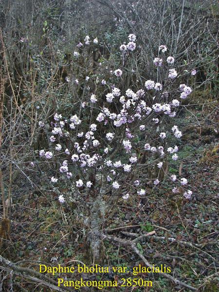 Daphne bholua var. glacialis, Pangkongma 2850m