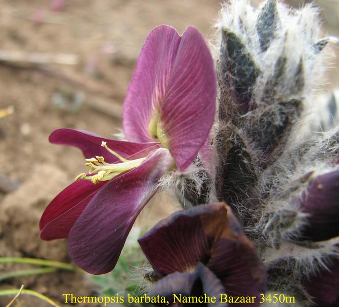 Thermopsis barbata, Namche Bazaar 3450m