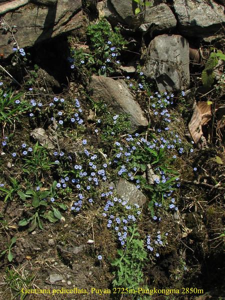 Gentiana pedicellata, Puyan 2725m-Pangkongma 2850m