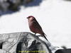 Rosefinch spec, Camp Khare 4950m