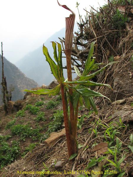 Arisaema nepenthoides,  Lukla 2775m-Puyan 2725m