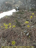 Meconopsis paniculata rosettes, Chalem Kharka 2600m-Kharka 4150m