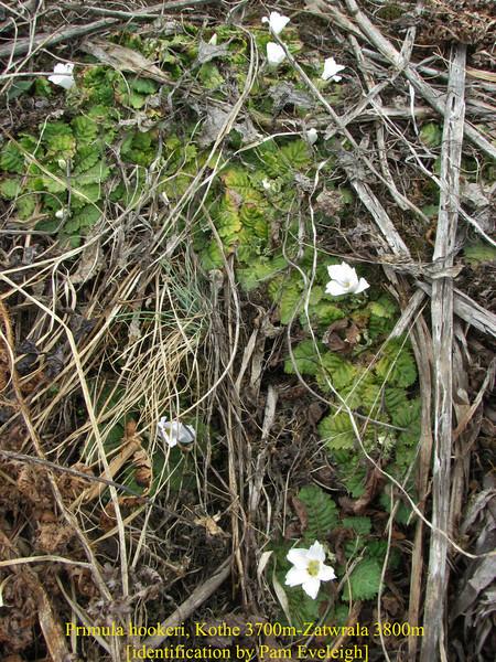 Primula hookeri, Kothe 3700m-Zatwrala 3800m  [identification by Pam Eveleigh, Primula World Canada]