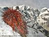 Rhodiola tibetica, Khare 4950-Mera Peak base camp (Mera La) 5350m