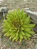 Meconopsis paniculata, Zatwrala 3800m-Lukla 2800m
