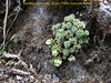 Saxifraga andersonii, (Porphyrion sectie), Kothe 3700m-Zatwrala 3800m