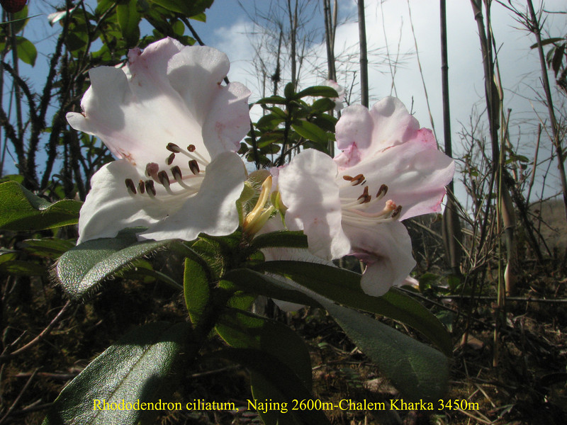 Rhododendron ciliatum,  Najing 2600m-Chalem Kharka 3450m