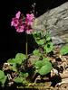 Primula rotundifolia, (base of leaf is heart shaped not cuneate), Kothe 3700m-Zatwrala 3800m  [identification by Pam Eveleigh, Primula World Canada]