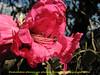 Rhododendron arboreum ssp. arboreum?? Puyan 2725m-Pangkongma 2850m
