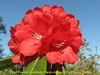 Rhododendron barbatum, leaf Pangkongma 2850m-Najing 2600m