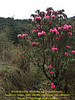 Rhododendron arboreum ssp. cinnamomeum, (undersite leafs, matt, bistrate, cinnamon, rust-coloured) Puyan 2725m-Pangkongma 2850m