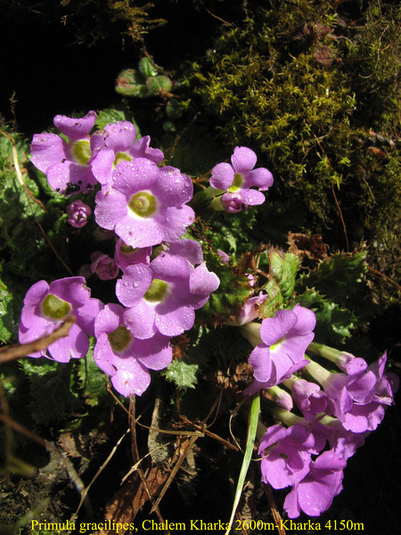 Primula gracilipes, Chalem Kharka 2600m-Kharka 4150m  [identification by Pam Eveleigh, Primula World Canada]
